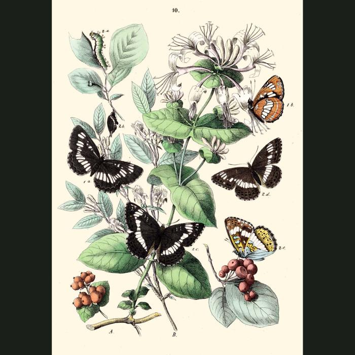 Fine art print for sale. Purple Emperor, Orange Emperor & Poplar Butterflies