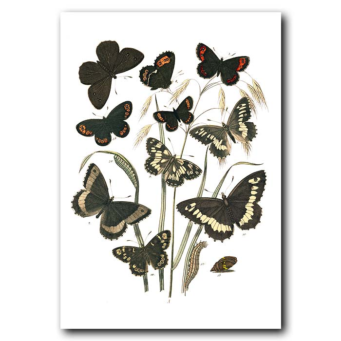 Fine art print for sale. Heath & Ringlet Butterflies