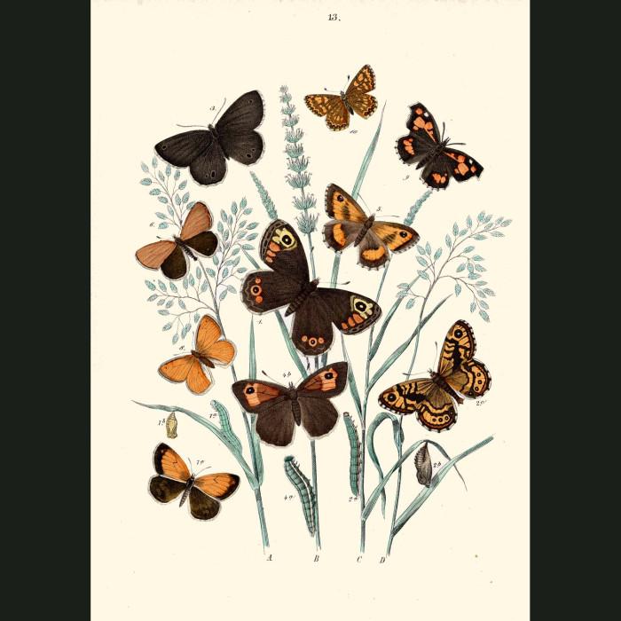 Fine art print for sale. Marbled White & Sicilian Butterflies
