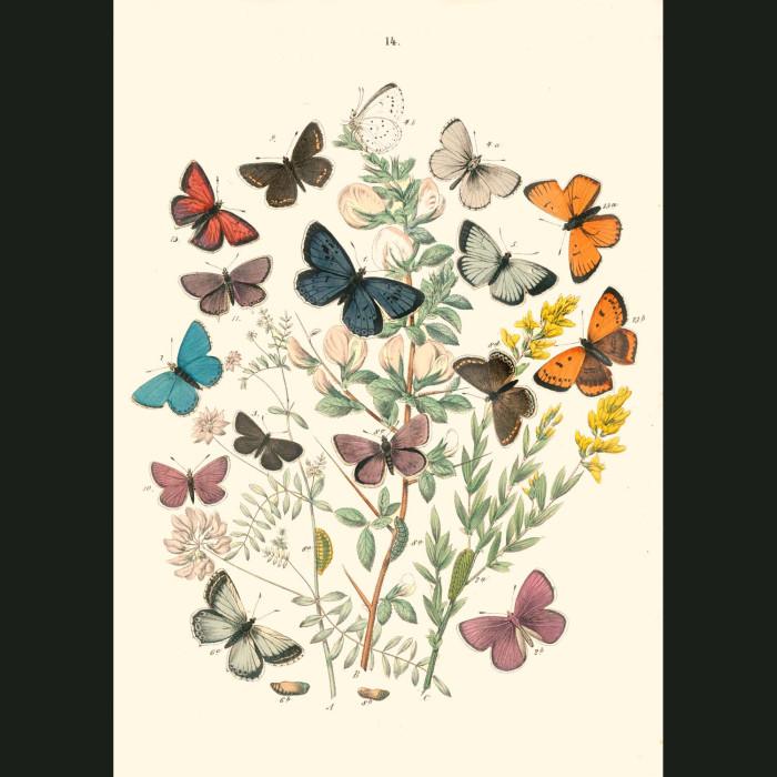 Fine art print for sale. Hair Streak & Copper Butterflies