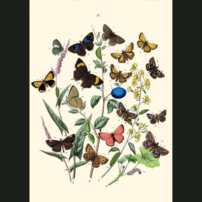 Fine art print for sale. Gossamer-Winged Butterflies