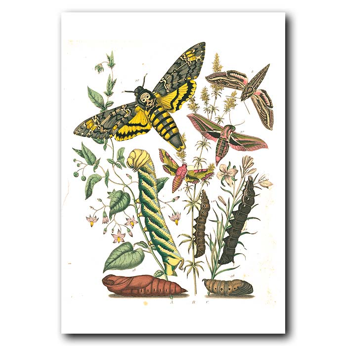 Fine art print for sale. Elephant Hawk Moth & Oleander Hawk Moth