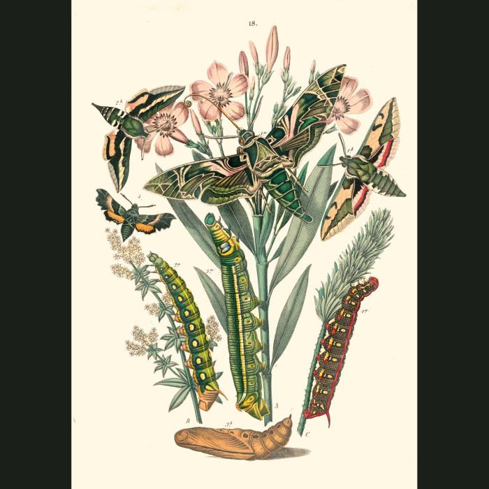 Fine art print for sale. Madder Hawk Moths