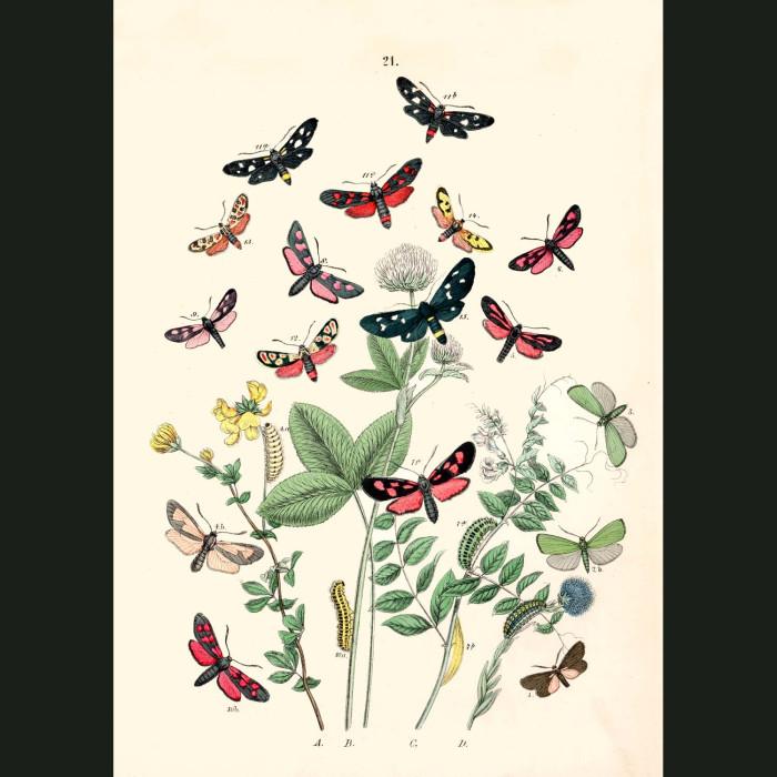 Fine art print for sale. Clear Wing Hawk Moths