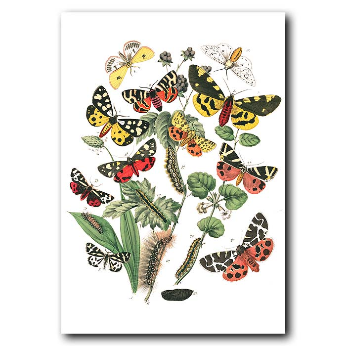 Fine art print for sale. Tiger Moths
