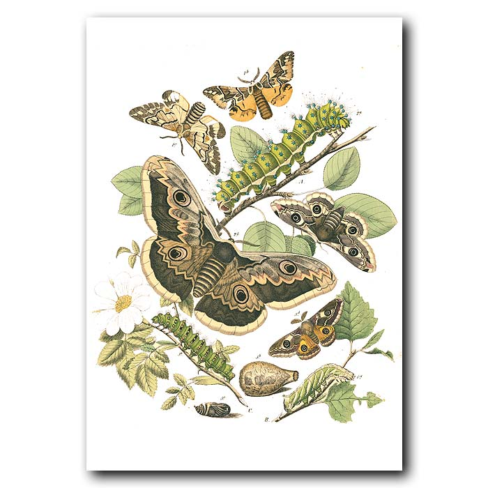 Fine art print for sale. Gypsy & Gold-Tail Satin Moths