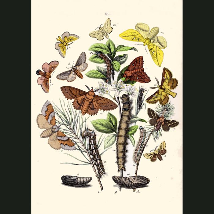 Fine art print for sale. Peacock & Emperor Moths