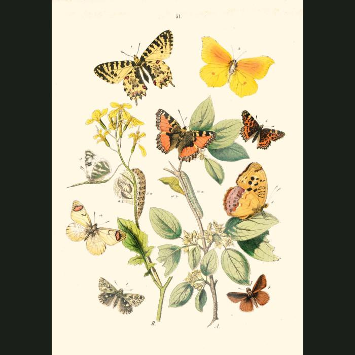 Fine art print for sale. Looper Moths