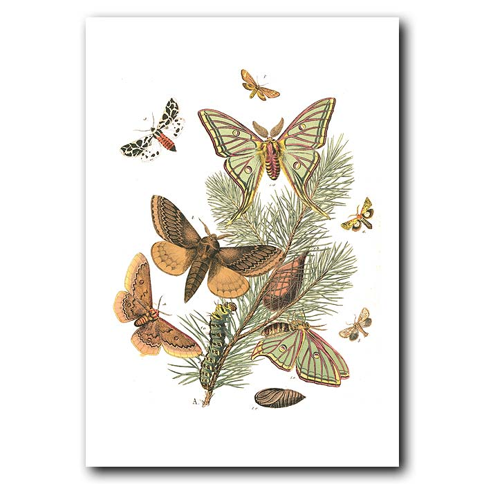 Fine art print for sale. Spanish Moon Moths