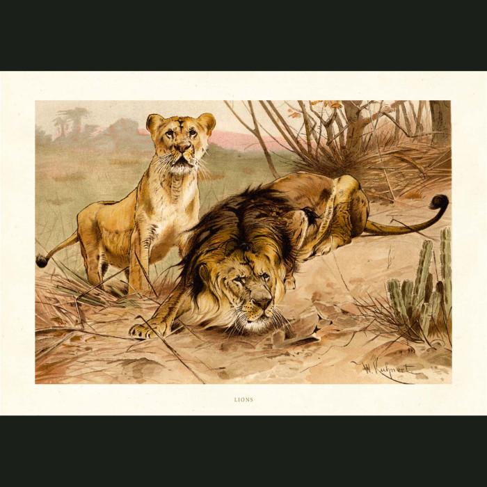 Fine art print for sale. Lion & Lioness