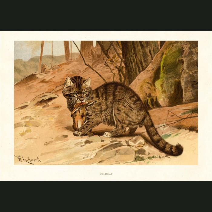 Fine art print for sale. Wild Cat
