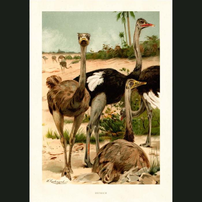 Fine art print for sale. Ostriches
