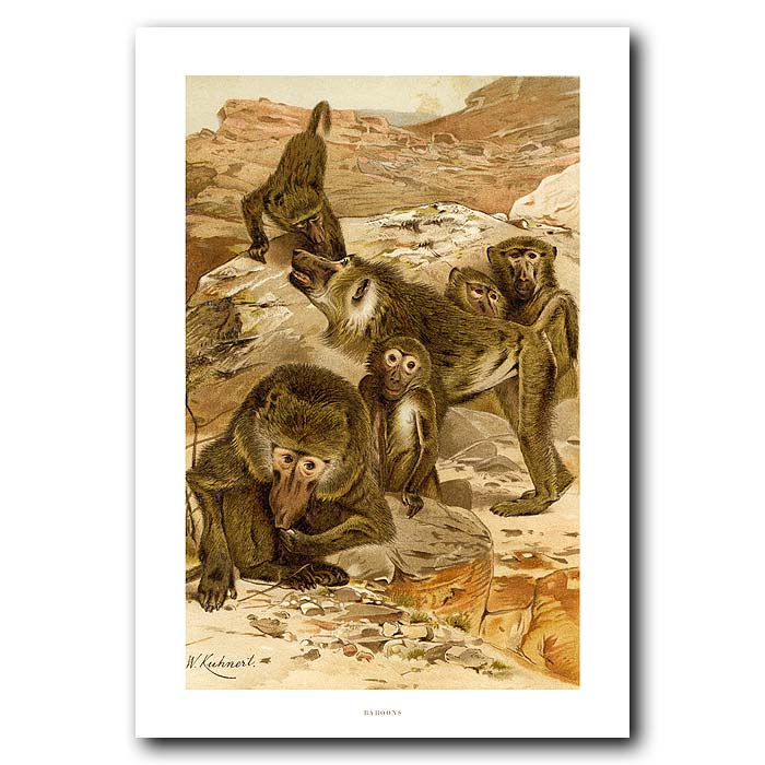 Fine art print for sale. Baboons