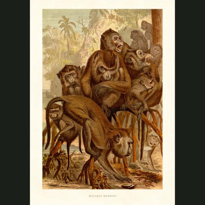 Fine art print for sale. Macaque Monkeys