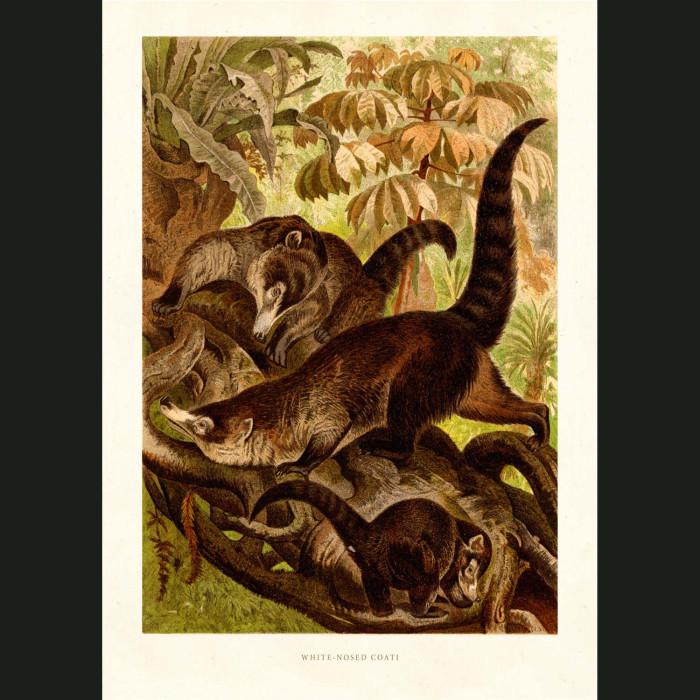 Fine art print for sale. White-Nosed Coati