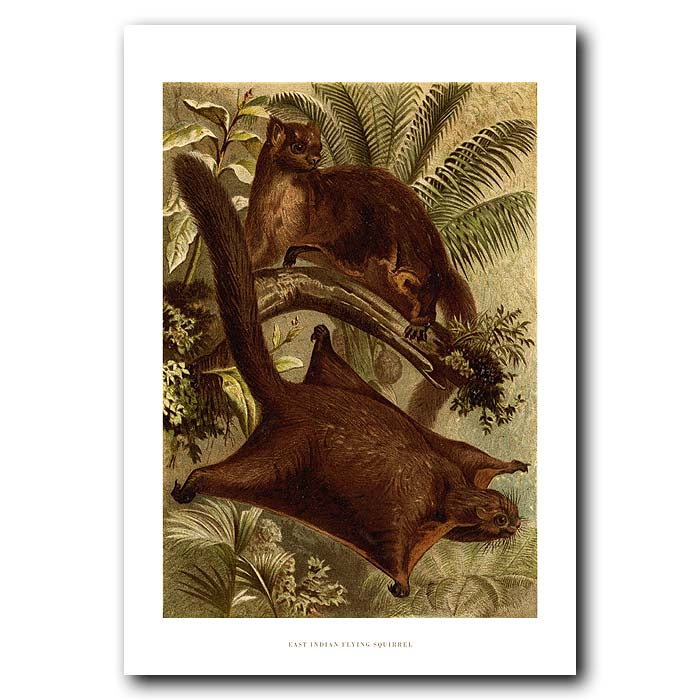 Fine art print for sale. East Indian Flying Squirrel