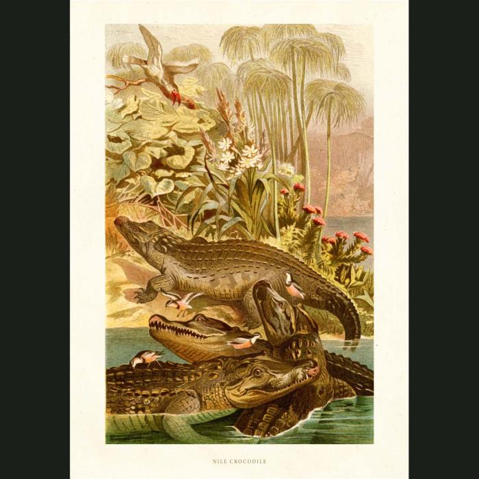 Fine art print for sale. Nile Crocodile