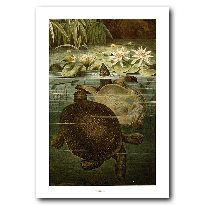 Fine art print for sale. Turtles In A River