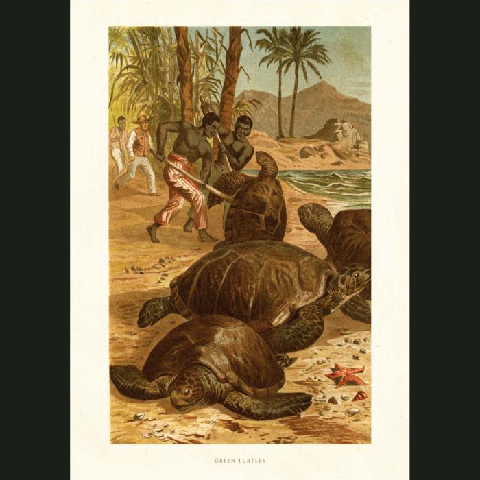 Fine art print for sale. Green Turtles