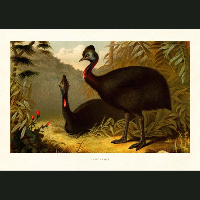 Fine art print for sale. Cassowary Birds