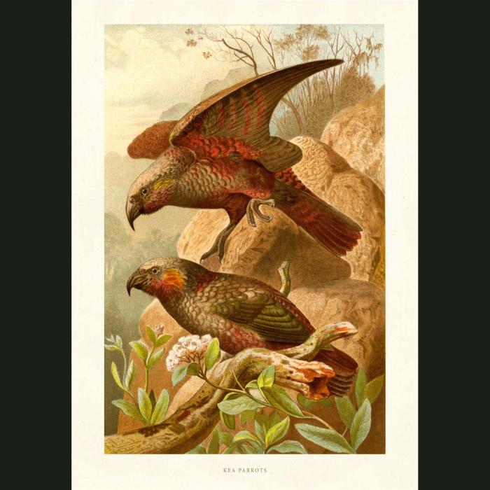 Fine art print for sale. Kea Parrots