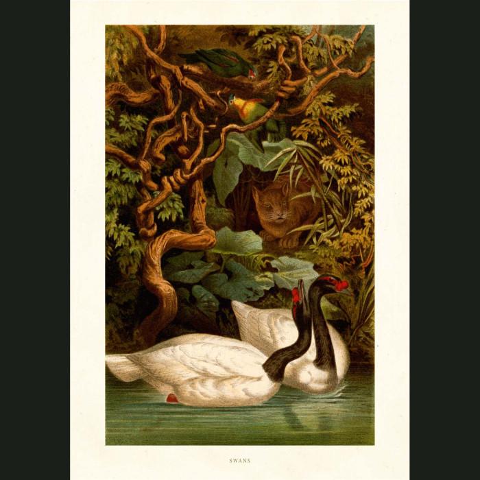Fine art print for sale. Black Swans