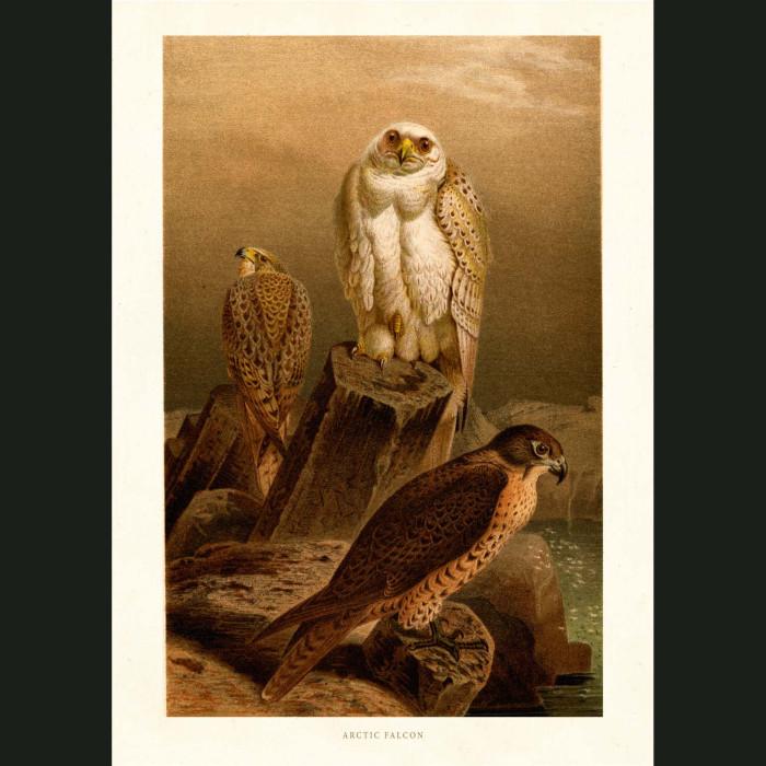 Fine art print for sale. Arctic Falcon