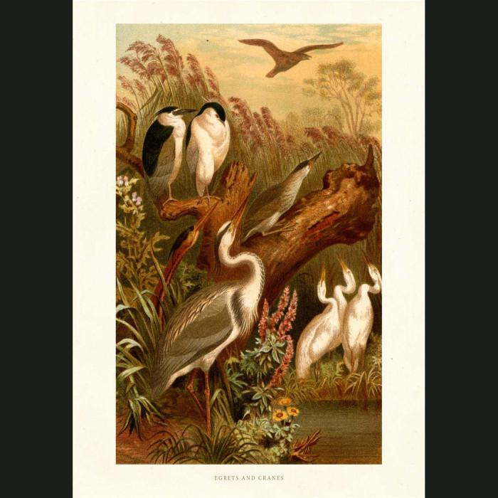 Fine art print for sale. Egrets And Cranes