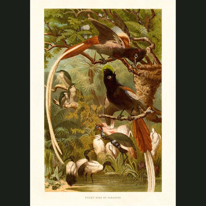 Fine art print for sale. Bird Of Paradise
