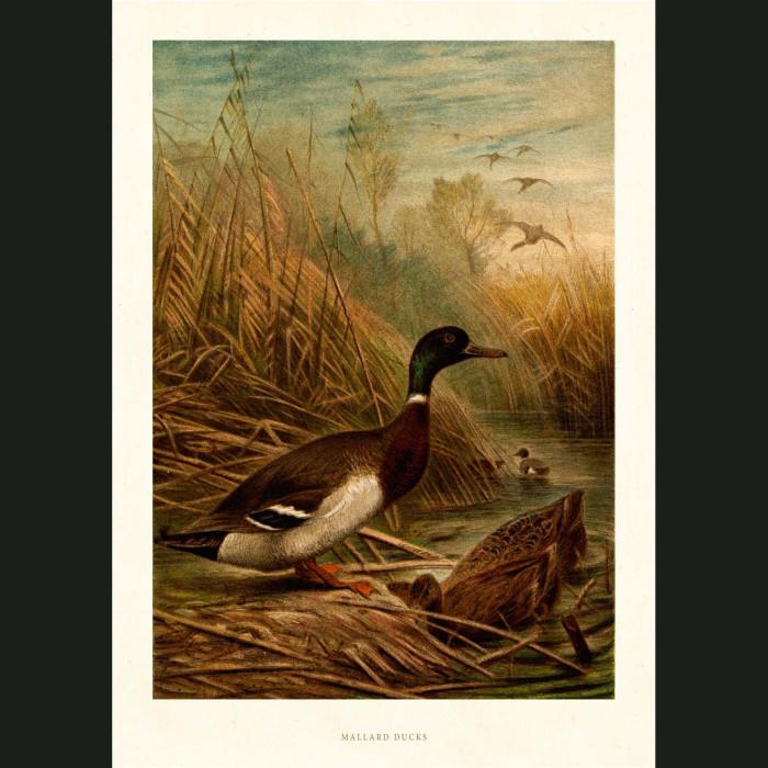 Fine art print for sale. Mallard Ducks