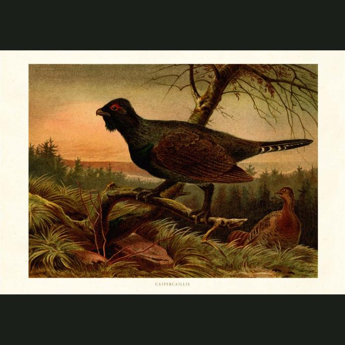 Fine art print for sale. Caipercaillie Bird