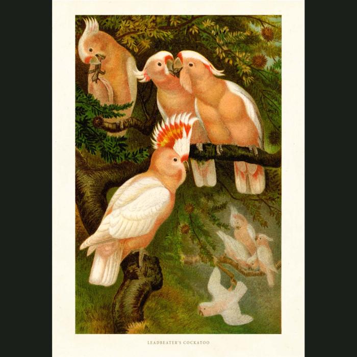 Fine art print for sale. Leadbeater's Cockatoos