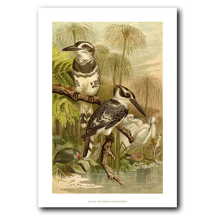 Fine art print for sale. Black And White Kingfishers