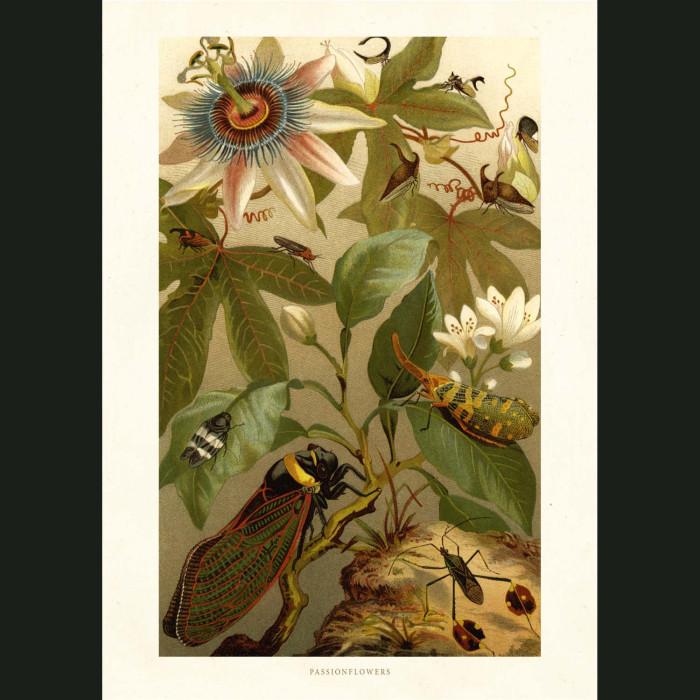 Fine art print for sale. Clematis Flowers, Cicada & Beetles