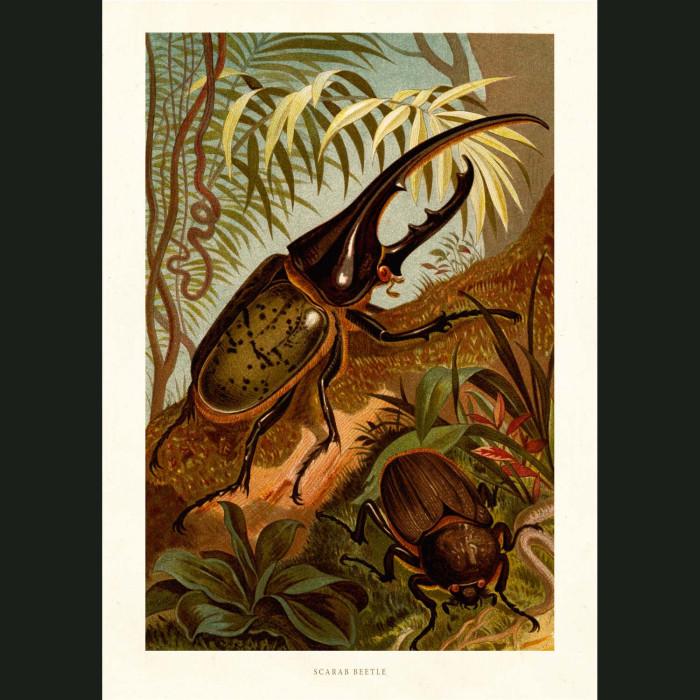 Fine art print for sale. Scarab Beetle