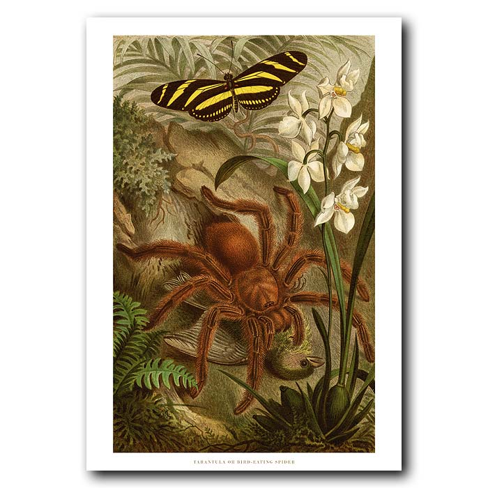 Fine art print for sale. Tarantula Spider