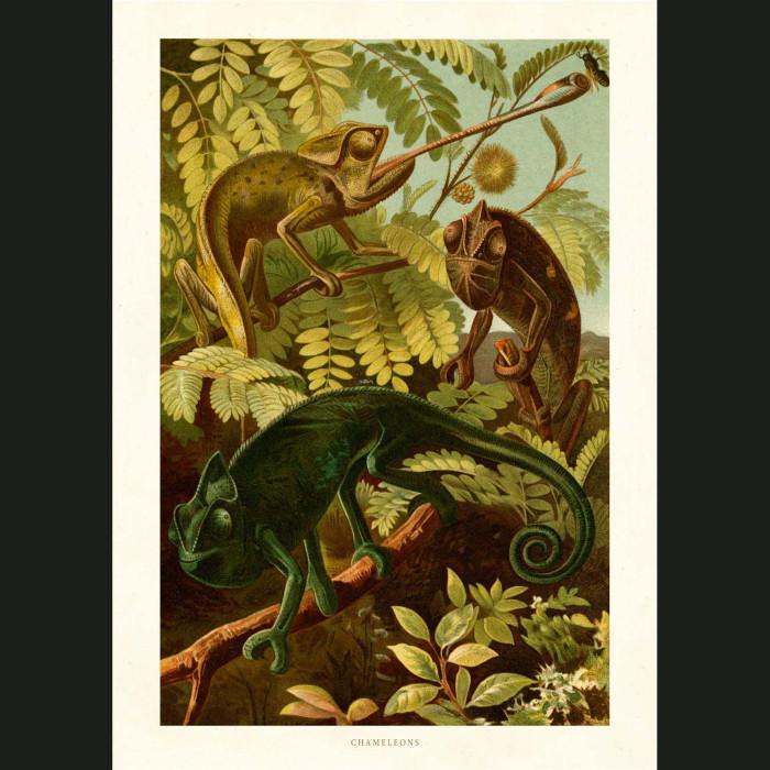 Fine art print for sale. Chameleon