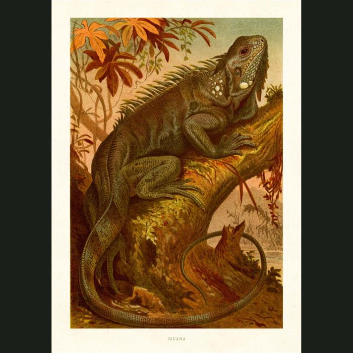 Fine art print for sale. Iguana Lizard