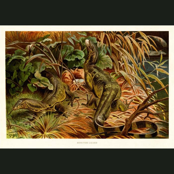 Fine art print for sale. Monitor Lizard