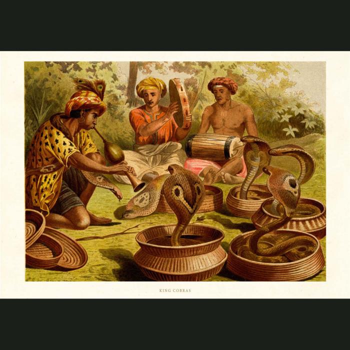 Fine art print for sale. King Cobra Snake