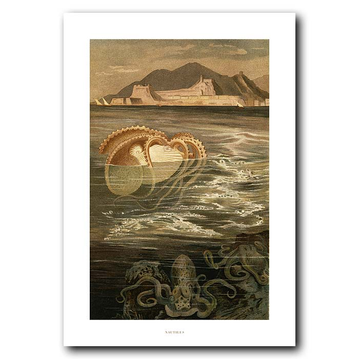 Fine art print for sale. Nautilus