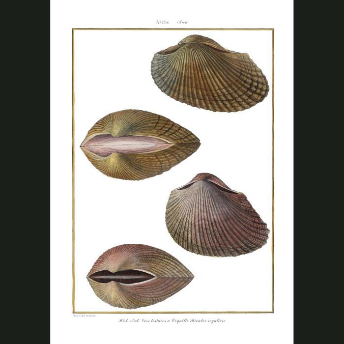 Fine art print for sale. Arca Seashells