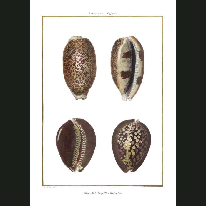 Fine art print for sale. Cowrie Seashells (I)