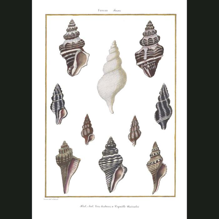 Fine art print for sale. Fusus Seashells (I)