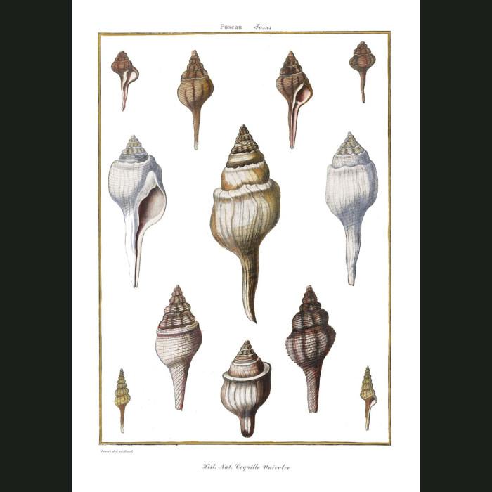Fine art print for sale. Fusus Seashells (II)
