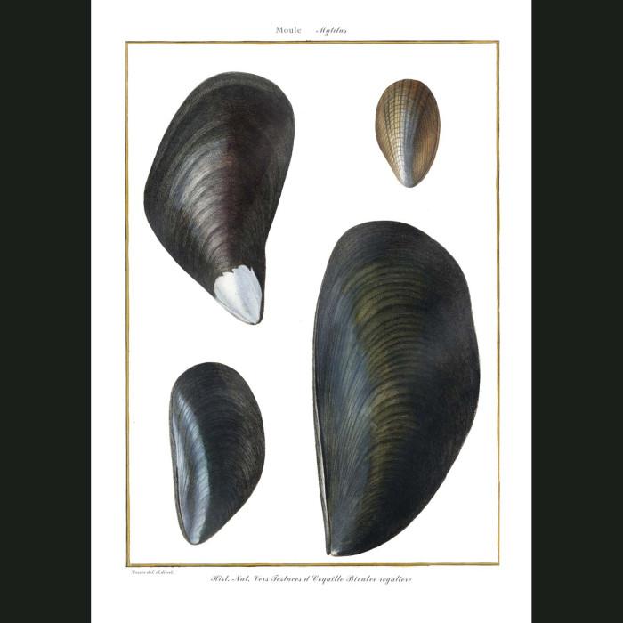 Fine art print for sale. Mussel Seashells