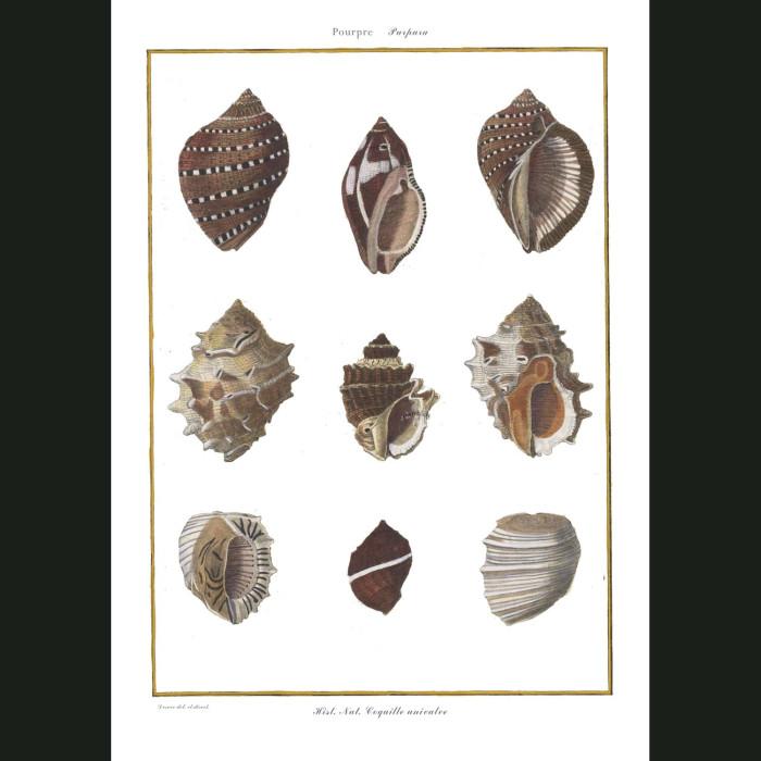 Fine art print for sale. Purpura Seashells