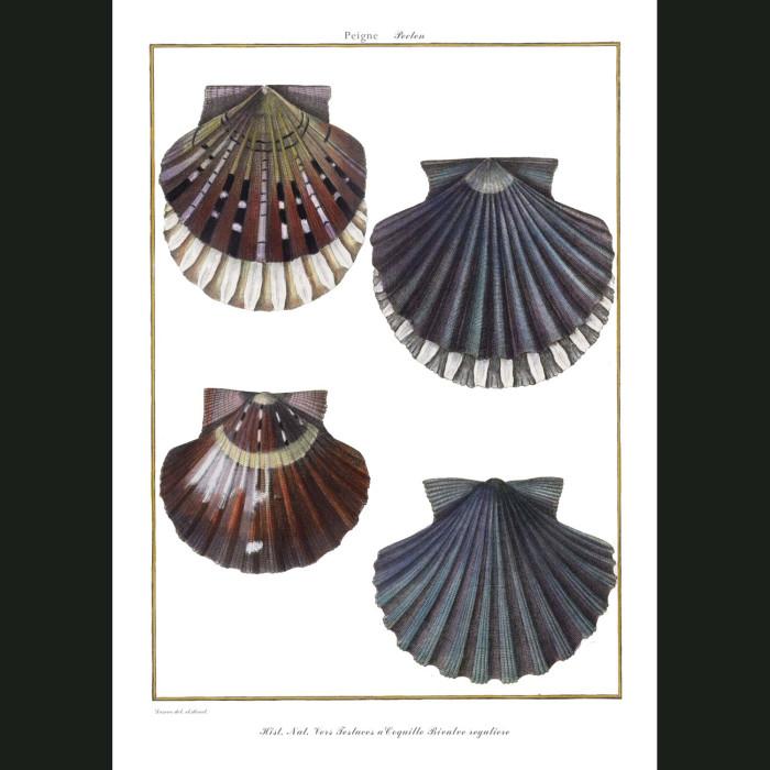Fine art print for sale. Scallop Seashells (II)