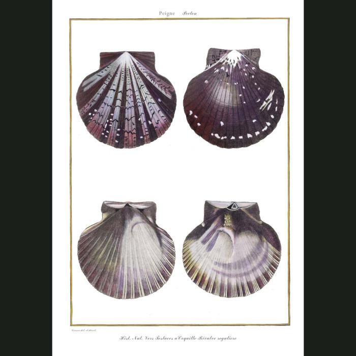 Fine art print for sale. Scallop Seashells (III)