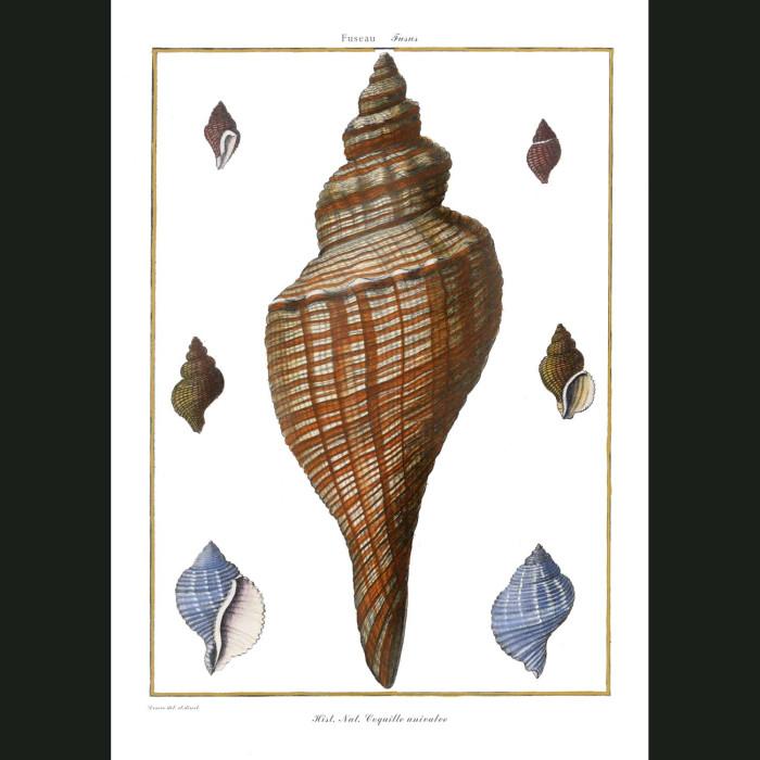 Fine art print for sale. Triton Seashells (I)